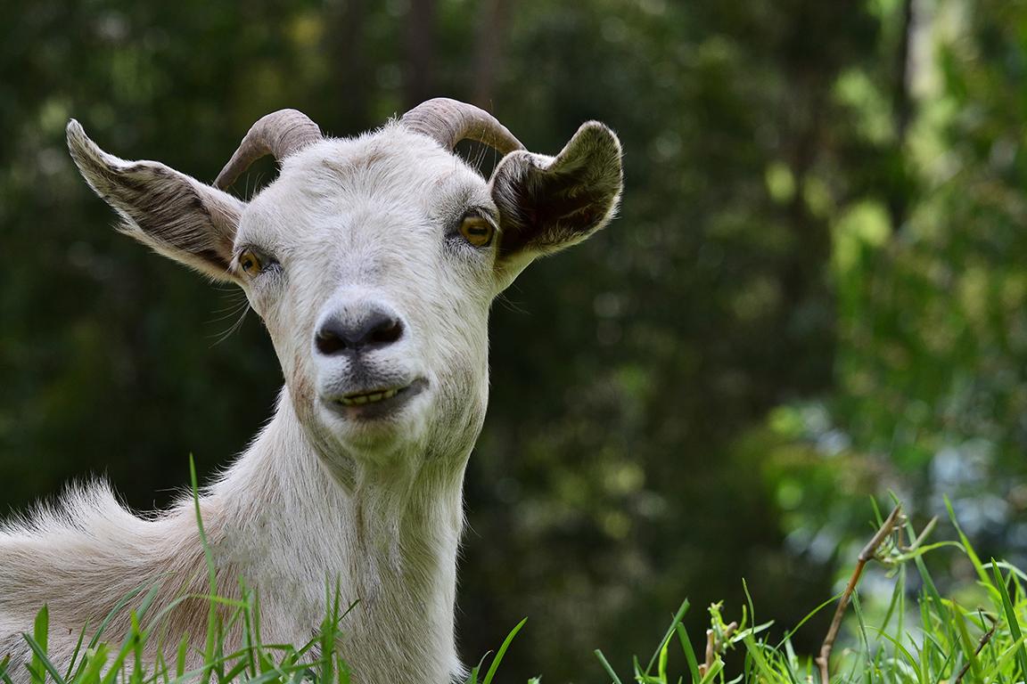 Goat Precious Pets Cavan Kennels Cattery Farm