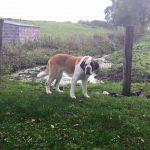 Big Old Dog Precious Pets Cavan Grooming