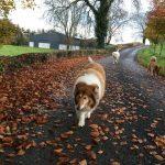 Walking the Dogs Precious Pets Cavan