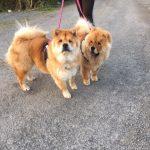 Dog Precious Pets Cavan Grooming Walking