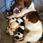 Dog with Pups Precious Pets Cavan Kennels