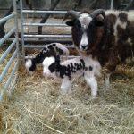 Goat Precious Pets Cavan Farm