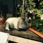 The Goat Precious Pets Cavan Farm