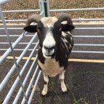 Goat 2 Precious Pets Cavan