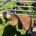 Goat with Hat Precious Pets Cavan
