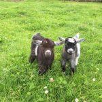 Small Goats Precious Pets Cavan Farm