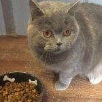Grey Cat Precious Pets Cavan Cattery