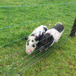 Cute Pigs Precious Pets Cavan Farm
