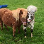 Ponies Precious Pets Cavan Farm