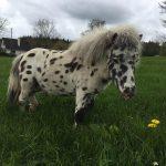 Pony Precious Pets Cavan Farm