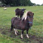 Pony & Goat Precious Pets Cavan Farm