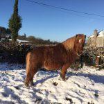 Pony in the Snow Precious Pets Cavan