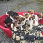 Puppies Precious Pets Cavan Kennels