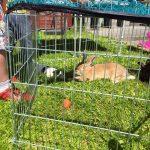 Rabbit Precious Pets Cavan Farm